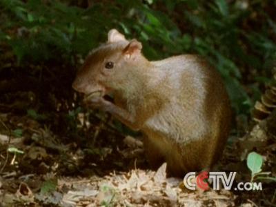 啮齿动物正在吃食物