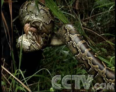 com-大蟒蛇来了