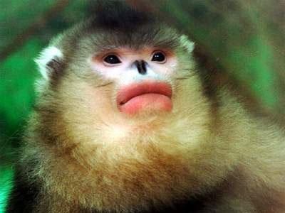 寻找滇金丝猴