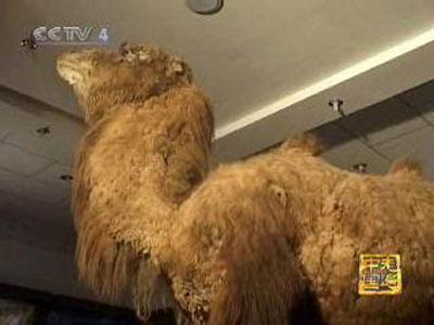 追踪野骆驼