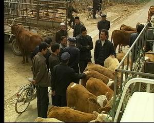 """牛村/中共阳信县委书记 尚龙江:""""这是一种市场经济条件下松散的养牛..."""