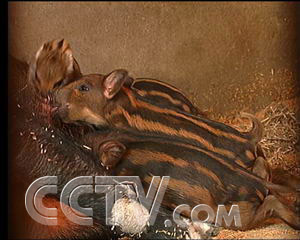 致富经野猪视频全集_王永堂的野猪经(2007.1.9) - 三农致富经
