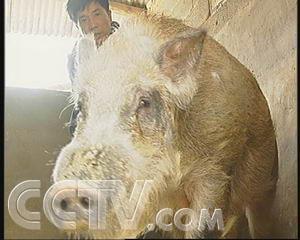 致富经野猪视频全集_多个心眼养野猪(2007.4.13) - 三农致富经