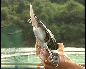 鲟鱼养殖暴利之后