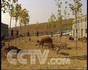 致富经野猪视频全集_养野猪张继峰的野猪山庄 - 三农致富经