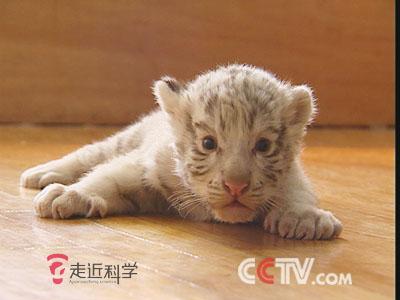 操白虎幼女_为小白虎找奶妈(22日播出)