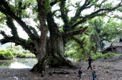 摆麻将图片_中国最大的古樟树。【旅游吧】_百度贴吧