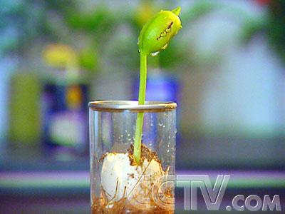 魔豆图片_魔豆长大后图片,魔豆种子长大后图片; 三百万元的财富