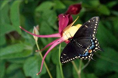 像不少飞翔的小动物一样,蝴蝶一生要经历四种形态:卵,幼虫,也就是毛