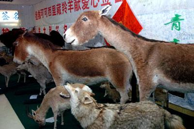 藏野驴等多种高原珍稀野生动物标本与