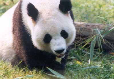 大熊猫吃竹子,尤其是各种箭竹