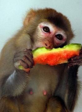 福州动物园内的一只猴子在吃西瓜