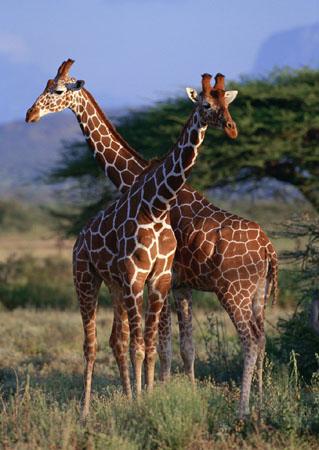 长颈鹿的脖子为什么那么长?